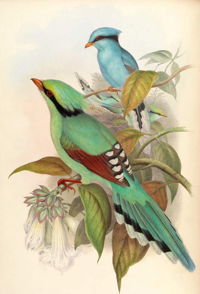 Cissa Chinensis Gould_ ⓒ John Gould_ Wikimedia