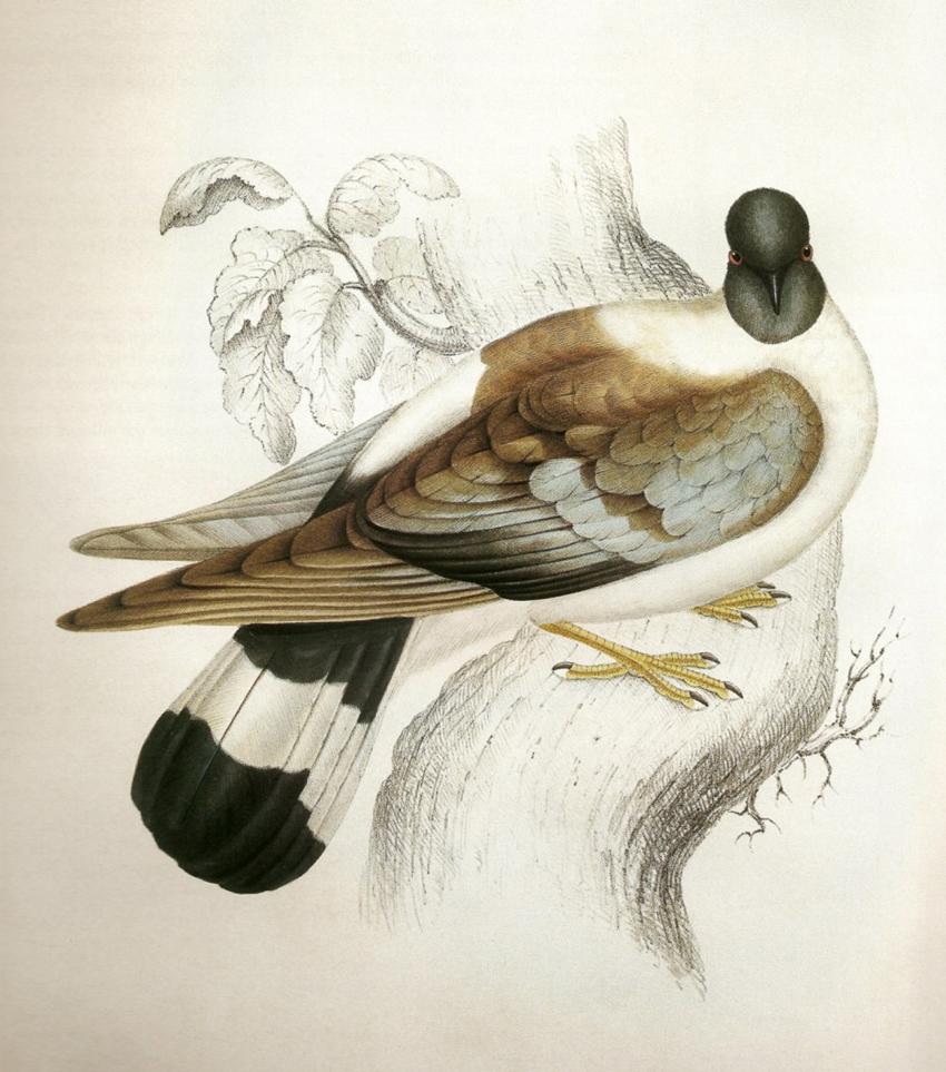 Columba Leuconota Gould_ ⓒ John Gould_ Wikimedia