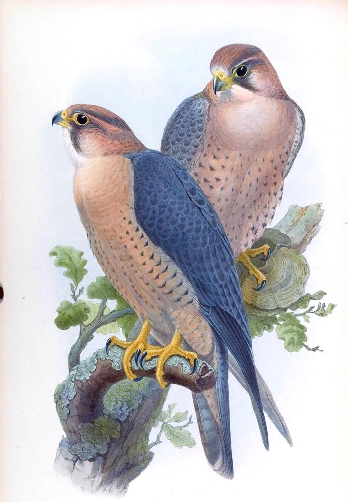 Falco Peregrinus Babylonicus Gould_ ⓒ John Gould_ Wikimedia