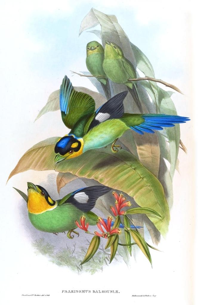 Long-tailed Broadbill Psarisomus dalhousiae_ ⓒ John Gould 1804 - 1881_ Wikimedia