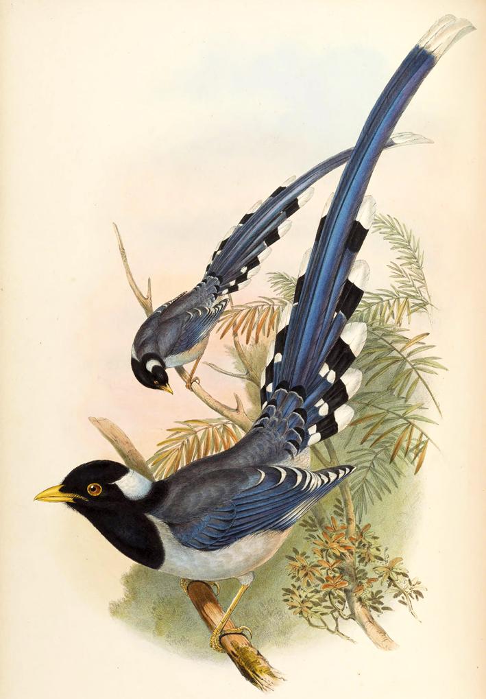 Urocissa Flavirostris Gould_ ⓒ John Gould_ Wikimedia