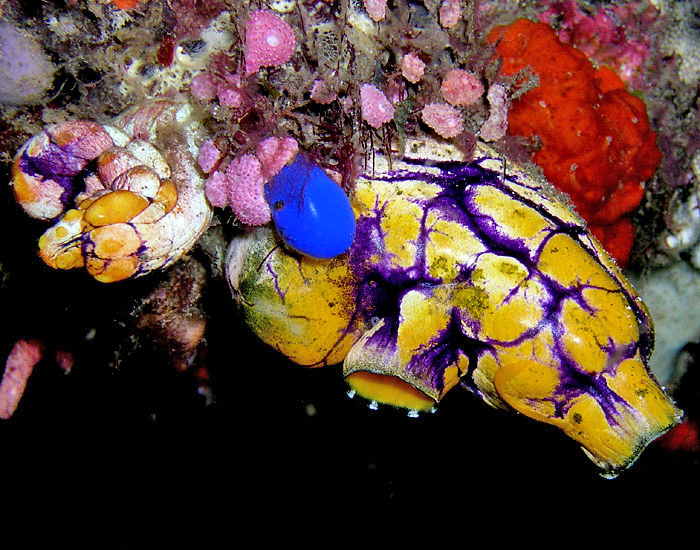 Seescheide, eye coral_ ⓒ nhobgood, Quelle: Wikimedia