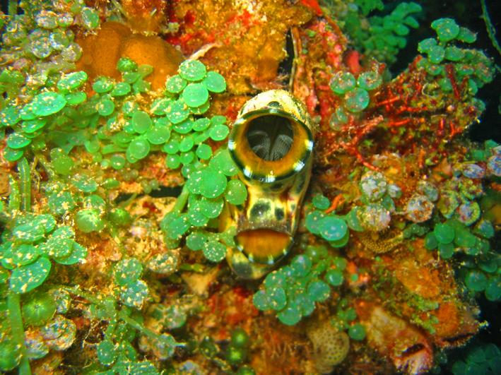 Seescheide, eye coral_ ⓒ Dr. Wayne Meadows, Quelle: Wikimedia