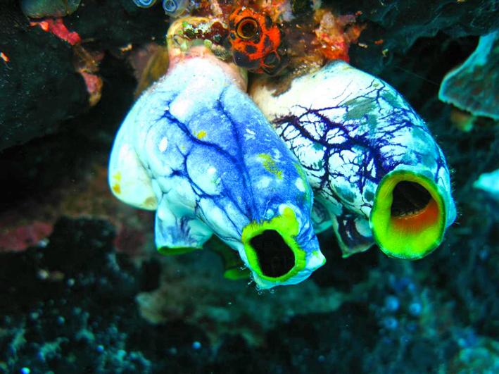 Seescheide, sea squirtsl_ ⓒ Silke Baron, Quelle: Wikimedia