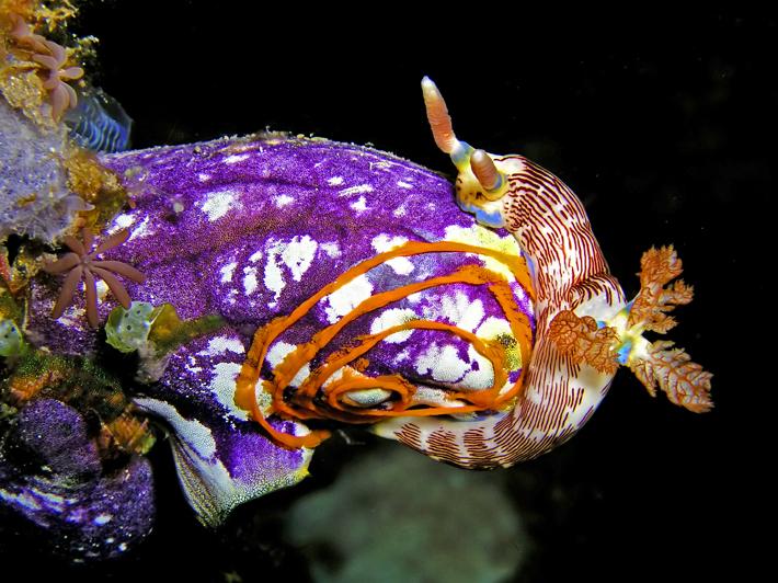 Seescheide, sea squirtsl_ ⓒ Nick Hobgood, Quelle: Wikimedia